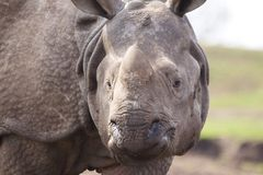 Armoured Rhino Stock Photography