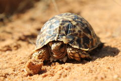 Armoured shell - Tortoise Royalty Free Stock Images