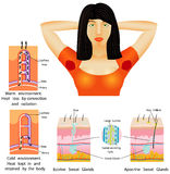 Armpit sweat. Ing. Beauty female . Eccrine Sweat Glands. Apocrine Sweat Glands. Heat kept in and retained by the body. Heat loss convection and radiation Stock Image