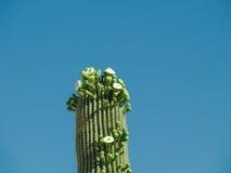 arms kaktusen entwined saguaroen Royaltyfri Bild