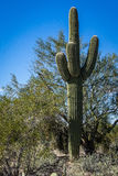 arms kaktusen entwined saguaroen arkivbilder