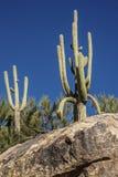 arms kaktusen entwined saguaroen royaltyfria bilder