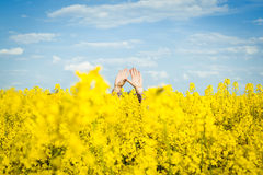 Arms of a man between rapeseed flower field royalty free stock photo