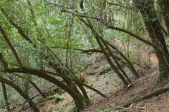 Armstrong Redwoods State Natural Reserve, California, United States. To preserve 805 acres 326 ha of coast redwoods Sequoia sempervirens. The reserve is royalty free stock photo