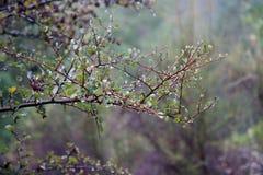 Armstrong Redwoods Twierdzą Naturalną rezerwę, Kalifornia, Stany Zjednoczone - konserwować 805 akrów 326 brzęczeń brzegowych redw Zdjęcia Stock