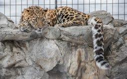 Armur-Leopard, der auf den Felsen liegt Stockfotografie