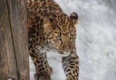Armur-Leopard, der in den Schnee geht Lizenzfreies Stockfoto