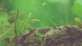Army ants crawling along nice tree stub, root, low perspective, beautiful blurred green background. Some plants on side stock video footage