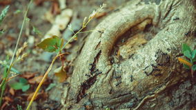 Army ants crawling along tree nice round stub, root. Small grass halms on sides, overlook, 4K 3840 x 2160 ultra high definition footage stock footage