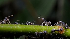 Army black ants on branch . Army black ants on branch after rain in tropical rain forest stock video