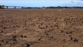 Army of crabs, low tide, mealtime. Sergipe, brazil stock video