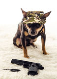 Army dog portrait Royalty Free Stock Photography