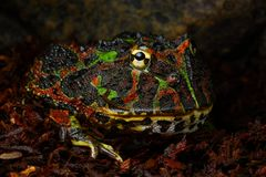 Army frog Royalty Free Stock Photos