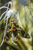 Army green moth (Daphnis nerii) on flower Royalty Free Stock Photo