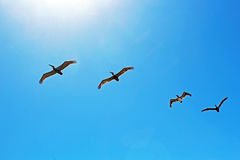 Army Of Pelican Flying Over La Jolla Cove Stock Photo
