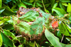 Army of red ants building a nest of leaves Stock Images