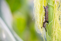 Armyworm στο καλαμπόκι Στοκ εικόνα με δικαίωμα ελεύθερης χρήσης