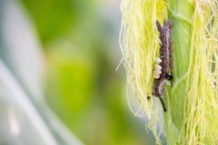 Armyworm no milho Imagem de Stock Royalty Free