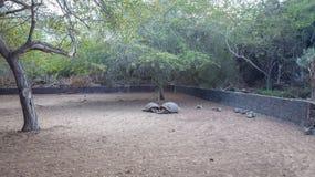 Arnaldo Tupiza Chamaidan, γιγαντιαίο κέντρο αναπαραγωγής Tortoise, νησί Isabela, Galapagos νησιά Στοκ φωτογραφία με δικαίωμα ελεύθερης χρήσης