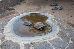 Arnaldo Tupiza Chamaidan, γιγαντιαίο κέντρο αναπαραγωγής Tortoise, νησί Isabela, Galapagos νησιά Στοκ Φωτογραφίες