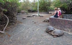 Arnaldo Tupiza Chamaidan, γιγαντιαίο κέντρο αναπαραγωγής Tortoise, νησί Isabela, Galapagos νησιά Στοκ Εικόνες