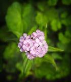 Arnation Ð ¡ Γαρίφαλο κηπουρικής Στοκ εικόνες με δικαίωμα ελεύθερης χρήσης