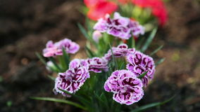 �arnation flower stock video footage