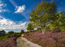 Arne Heathland, Dorset με την πορεία μέσω της ερείκης και των δέντρων Στοκ Φωτογραφίες