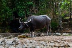 Arnee буйвола в зоопарке Стоковая Фотография RF