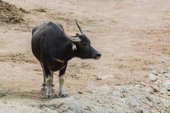 Arnee буйвола в зоопарке Стоковое Изображение RF