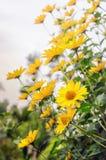 Arnica άνθη λουλουδιών Στοκ Φωτογραφίες