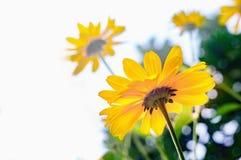 Arnica άνθη λουλουδιών Στοκ εικόνα με δικαίωμα ελεύθερης χρήσης