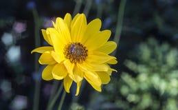 Arnica άνθη χορταριών με τη μέλισσα Στοκ Εικόνες