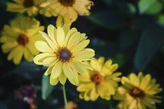 Arnica άνθη χορταριών Στοκ εικόνες με δικαίωμα ελεύθερης χρήσης