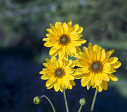 Arnica άνθη χορταριών Στοκ φωτογραφία με δικαίωμα ελεύθερης χρήσης