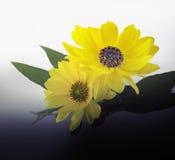 Arnica άνθη Στοκ φωτογραφία με δικαίωμα ελεύθερης χρήσης