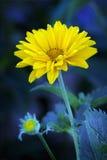 Arnica άνθη Στοκ εικόνες με δικαίωμα ελεύθερης χρήσης
