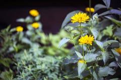 Arnica άνθη Στοκ φωτογραφίες με δικαίωμα ελεύθερης χρήσης