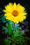 Arnica άνθος λουλουδιών Στοκ Εικόνες