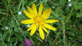 Arnica - κίτρινο λουλούδι Στοκ φωτογραφία με δικαίωμα ελεύθερης χρήσης