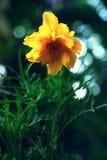 Arnica λουλούδι της Μοντάνα Στοκ εικόνα με δικαίωμα ελεύθερης χρήσης