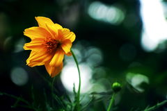 Arnica λουλούδι της Μοντάνα Στοκ Εικόνες