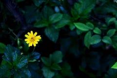 Arnica λουλούδι της Μοντάνα Στοκ Εικόνα