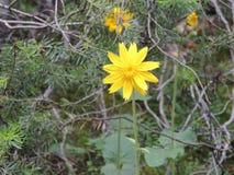 Arnica το λουλούδι, Heartleaf, κλείνει επάνω τη μακροεντολή στο εθνικό πάρκο Banff, Καναδάς Στοκ Εικόνα