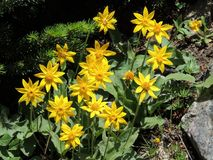 Arnica το λουλούδι, Heartleaf, κλείνει επάνω τη μακροεντολή στο εθνικό πάρκο Banff, Καναδάς Στοκ εικόνες με δικαίωμα ελεύθερης χρήσης