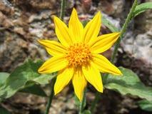 Arnica το λουλούδι, Heartleaf, κλείνει επάνω τη μακροεντολή στο εθνικό πάρκο Banff, Καναδάς Στοκ Εικόνες