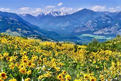 Arnica in alpine meadows. stock images