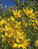 Arnica and Aspen. A closeup of the wild flower bloom in the high mountains grow in the sunlight with the aspen royalty free stock photography