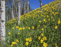 Arnica and Aspen. A closeup of the wild flower bloom in the high mountains grow in the sunlight with the aspen woods on the hillside royalty free stock photos