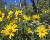 Arnica and Aspen. In the Aspen forest woods is a closeup of the wild flower bloom in the high country sunlight royalty free stock images